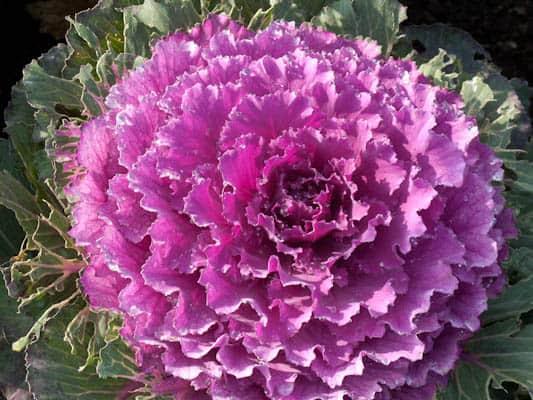 villandry-cabbage