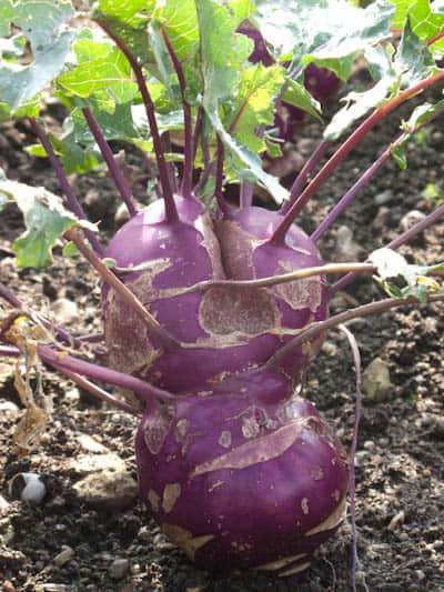 villandry-turnip