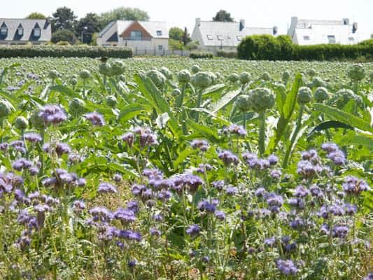 Guillec artichoke field