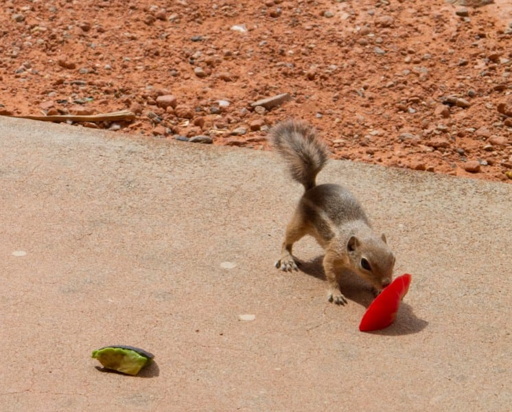 Valley of Fire State Park Chipmunks