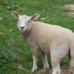 Auvergne Lamb