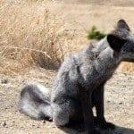 San Juan Islands Fox