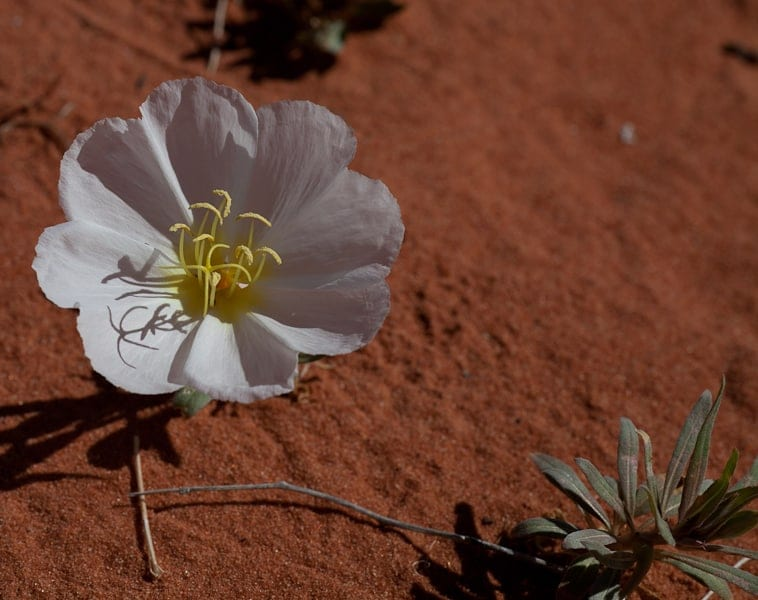 Valley of Fire flower