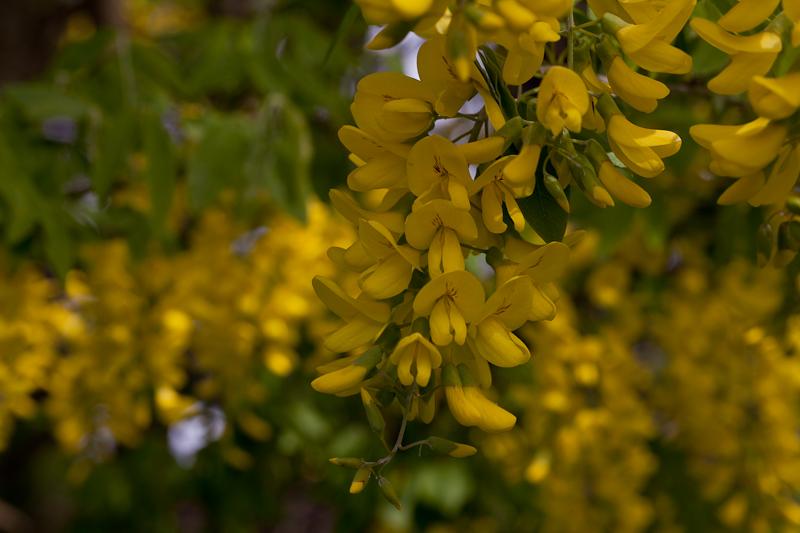Lummi Island flowers