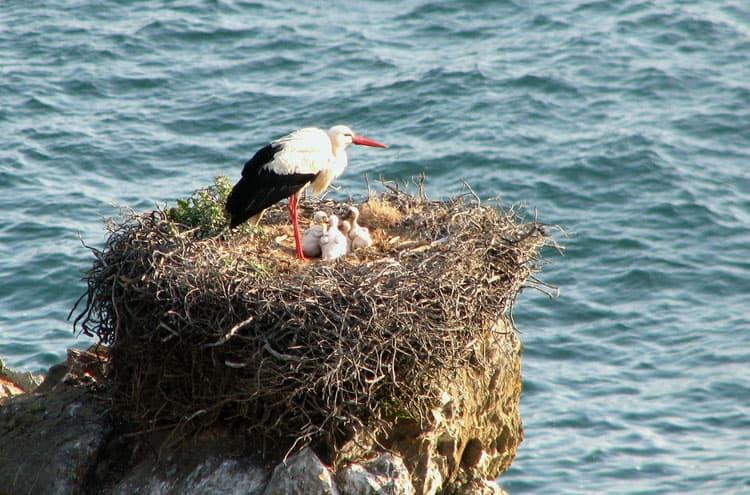 Costa Vicentina White Storks