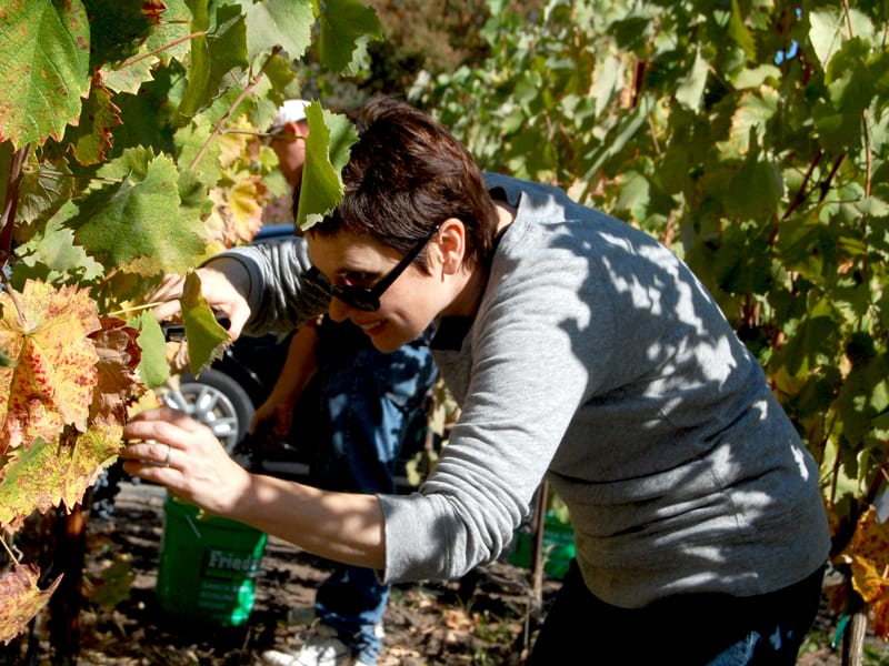 Andi picking Mourvedre