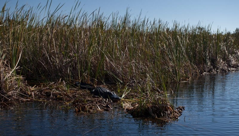 Gator in Everglades Holiday Park