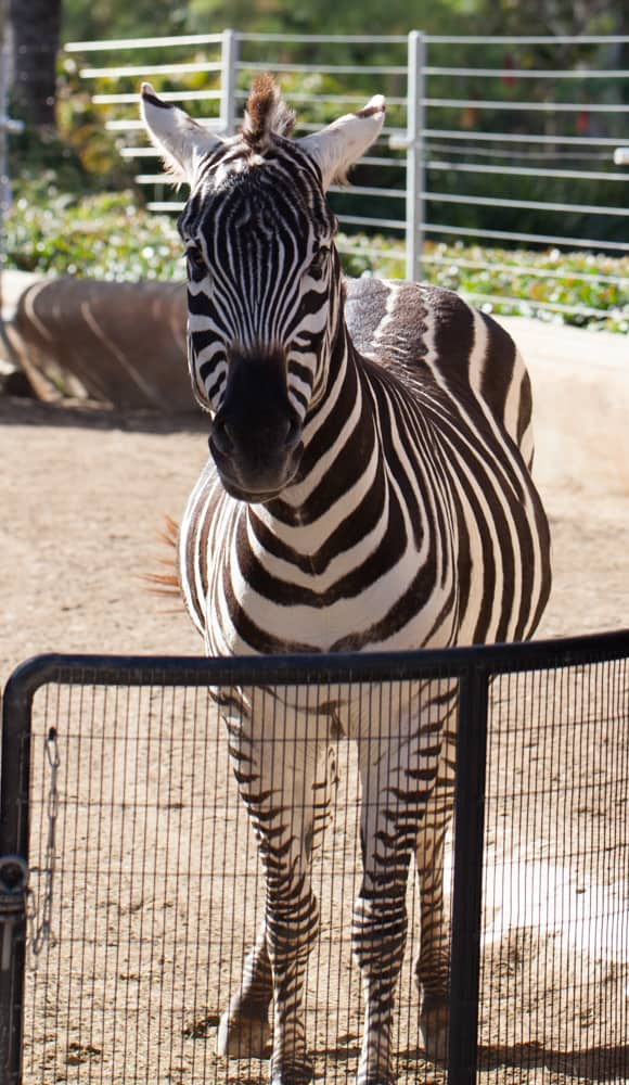San Diego Zoo Backstage Pass Zebra
