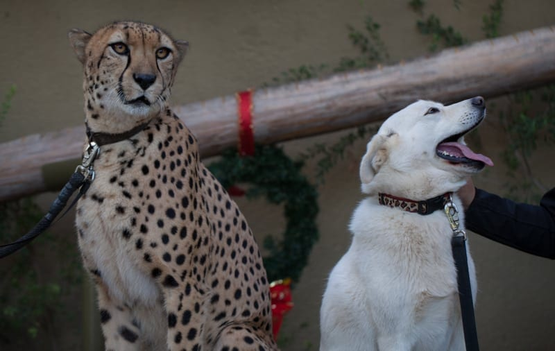 San Diego Zoo Backstage Pass Cheetah and Dog