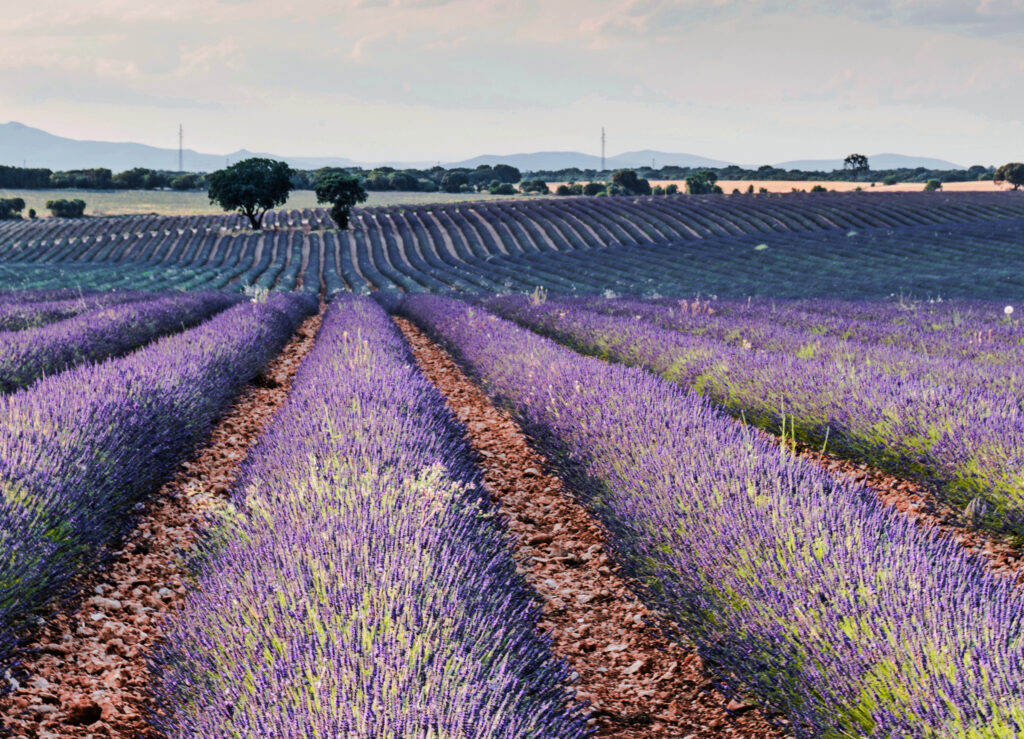 Lavender Fields France Provence -Offbeat Escapades-2