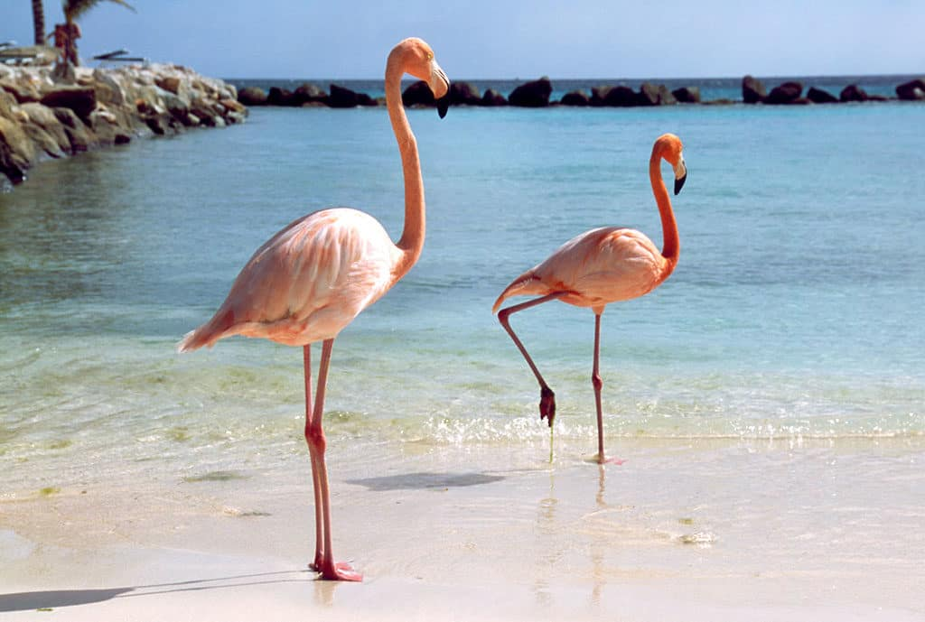 Adventures-in-Aruba Flamingoes
