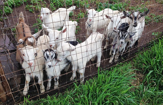 Surfing Goat Farm