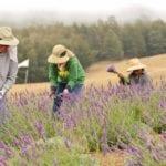 Maui – Ali'i Kula Lavender Farm