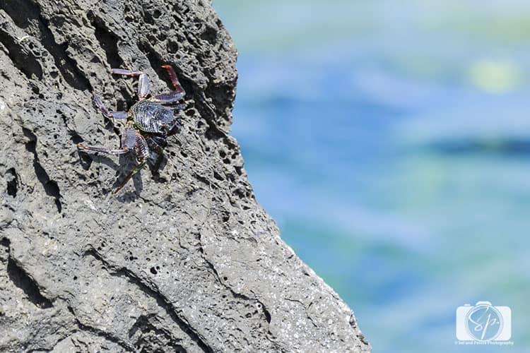 Hawaii Big Island Keokea-Beach-Park Crab