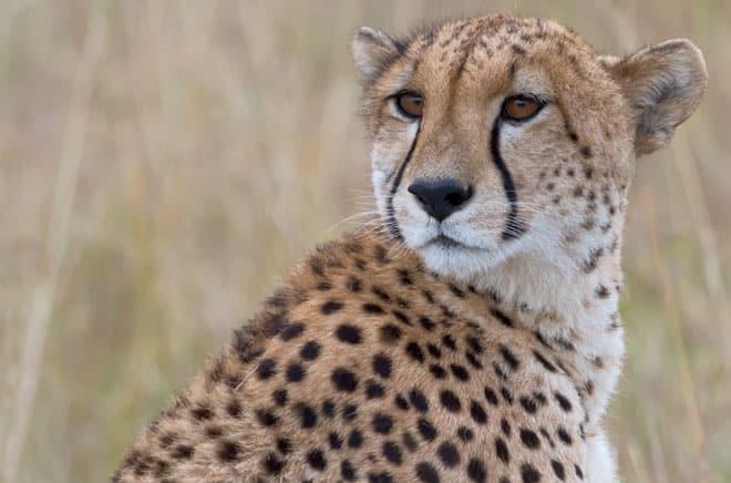 Safari-Cheetah