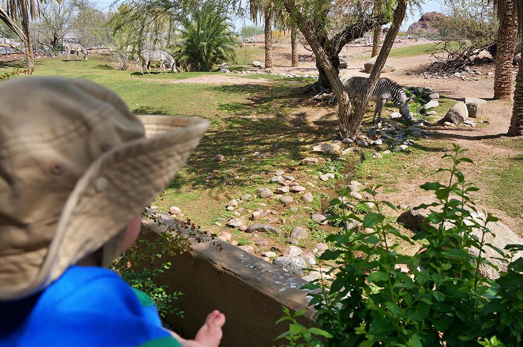 Child looking at Zebra
