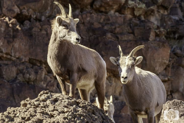 5 things to do in the Santa Fe area Big Horn Sheep