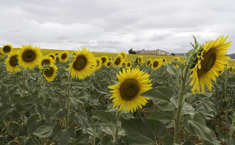 Andalucia-Sunflowers