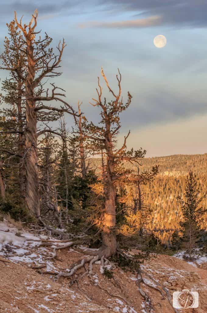 Bryce Canyon Bristlecone Pine