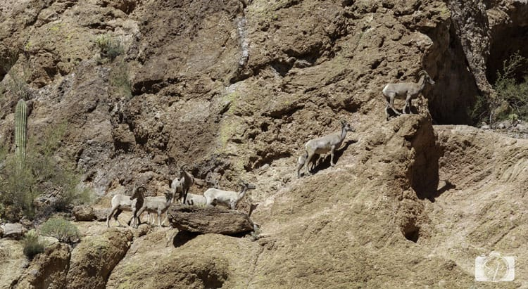 Dolly-Cruise-Bighorn-Sheep