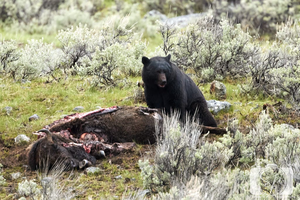 Bear eating a bison carcass in Yellowstone National Park