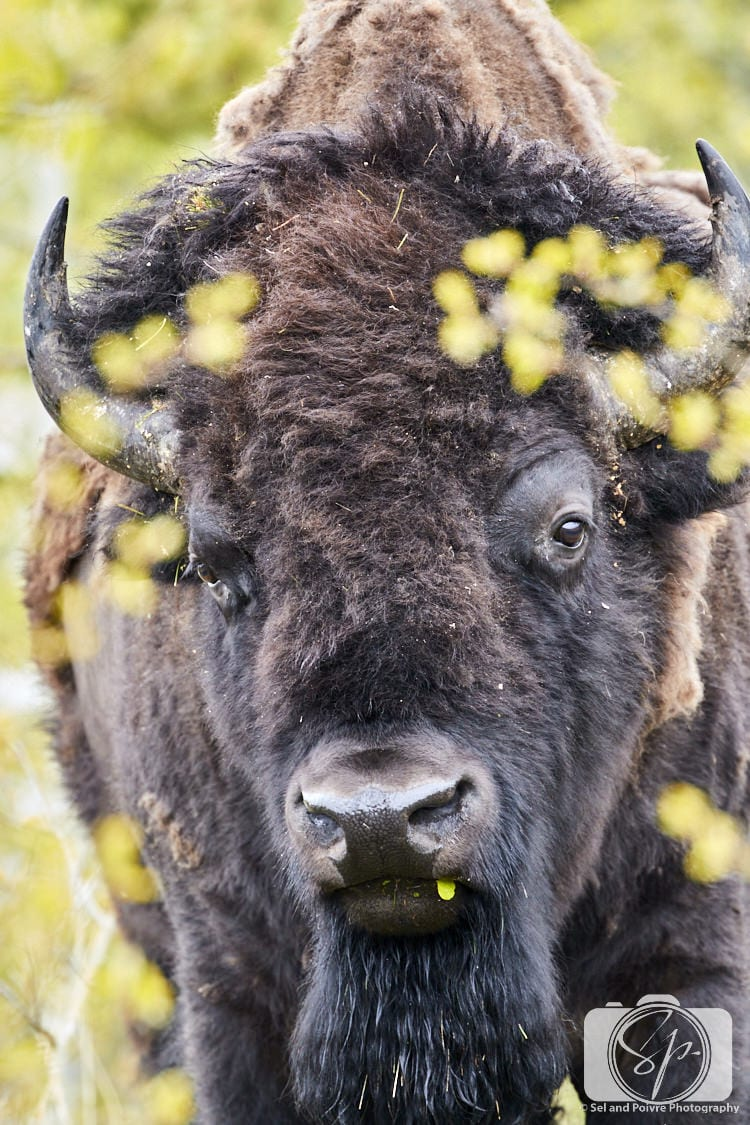 Big Bison Face in Yellowstone National Park
