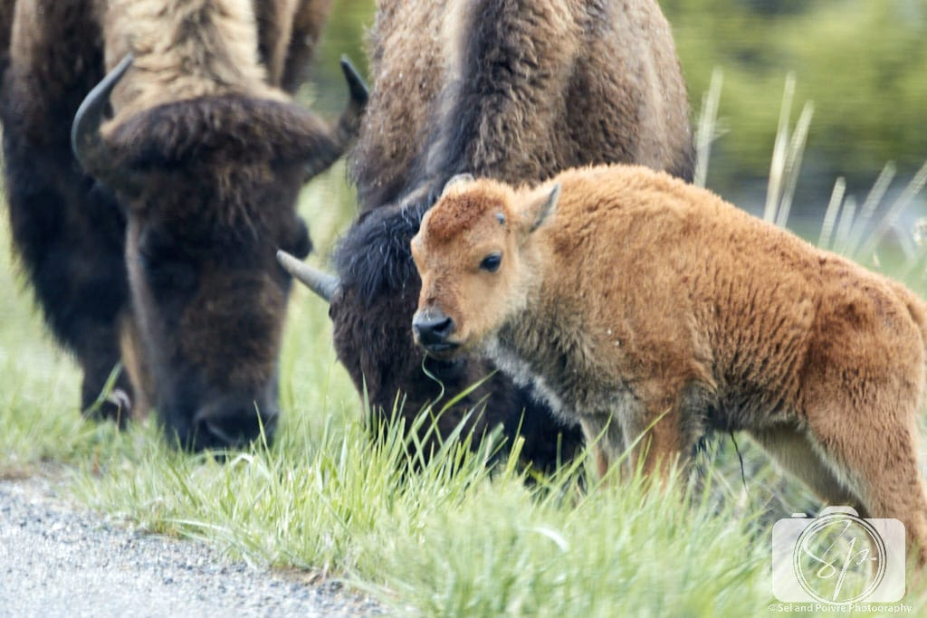 Bison calf grazing in Yellowstone National Park