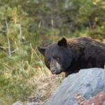 Black Bear in Yellowstone National Park hero