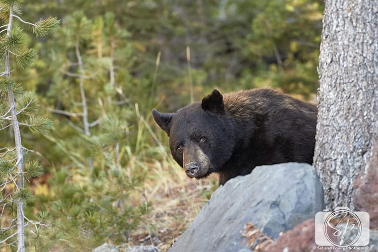 Black Bear in Yellowstone National Park hero