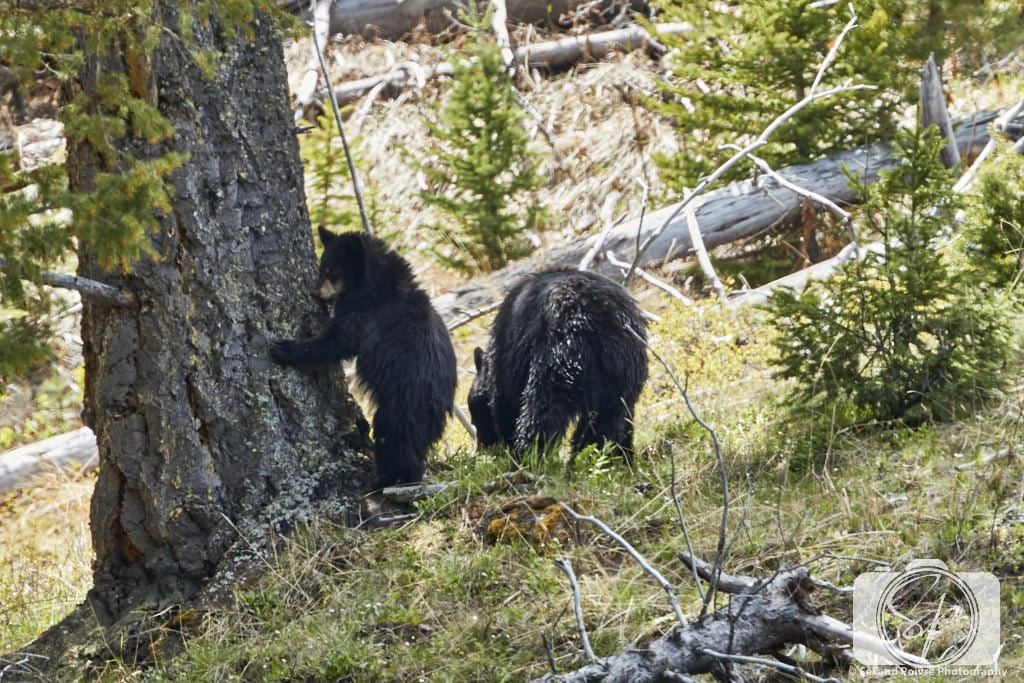 Black bear and cub in Yellowstone National Park