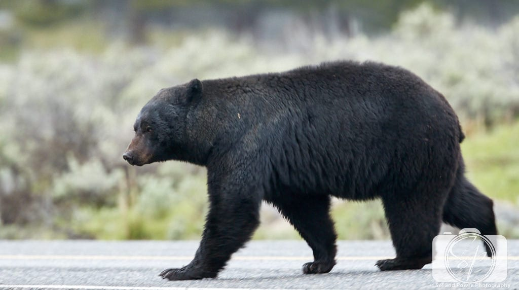 Black bear crossing the road in Yellowstone National Park