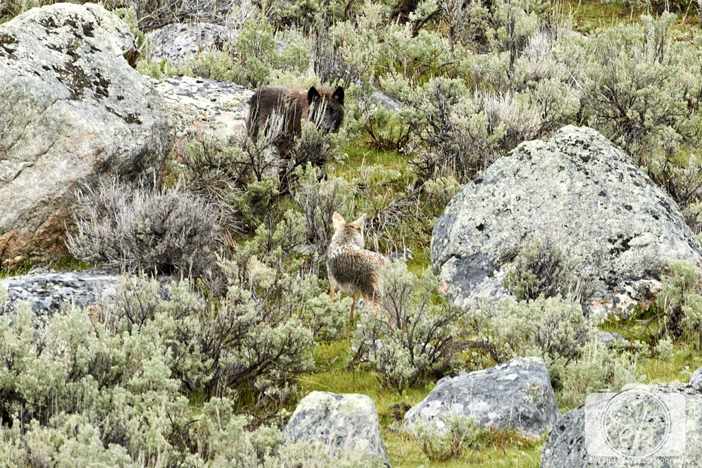 Coyote and wolf standoff in Yellowstone National Park