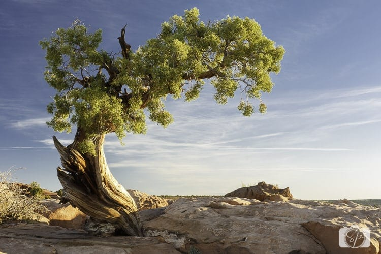 Things to do in Moab - Dead Horse State Park Juniper