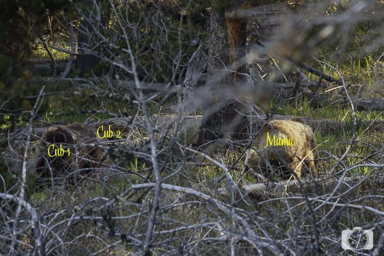 GRAND TETON-bears