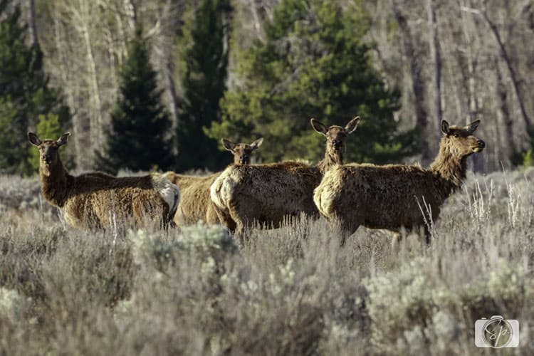 Grand Teton National Park Elk blog