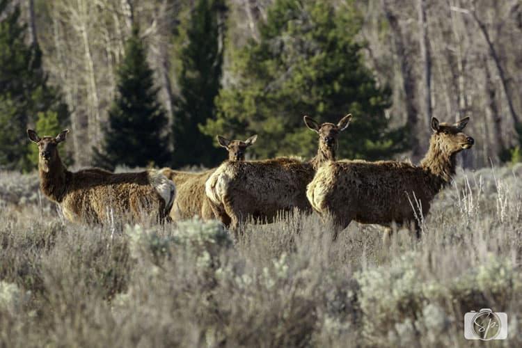 Grand Teton National Park Elk blog