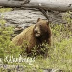 Weekly Wanderings #18 – Yellowstone