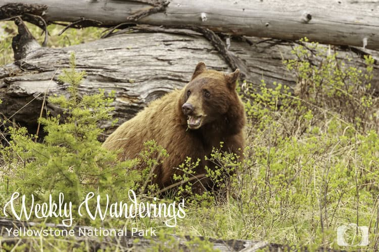 YELLOWSTONE-National-Park-Bear