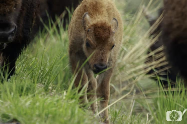 Yellowstone-National-Park-Bison-Calf-2