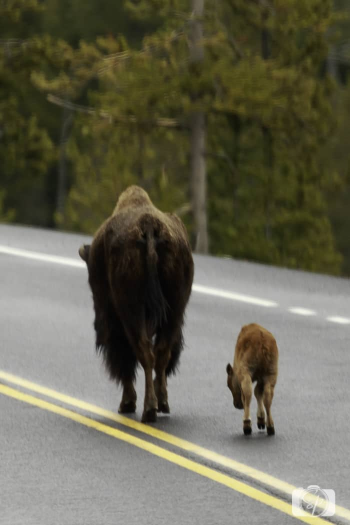 yellowstone national park bison and calf road