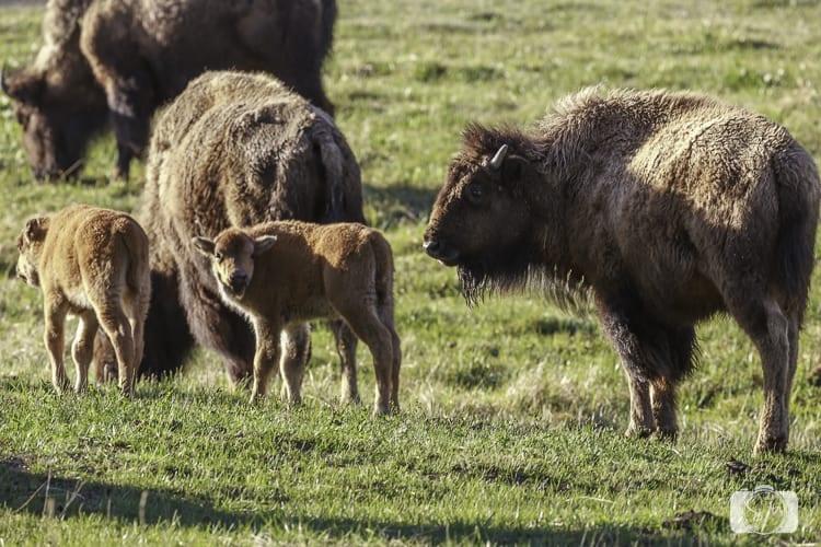 yellowstone national park bison plain