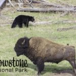 yellowstone national park black bear and bison 2