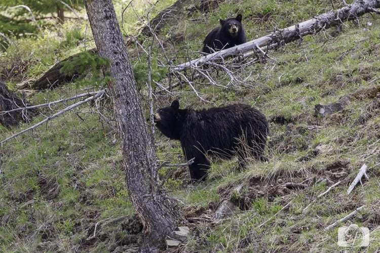 yellowstone national park black bear and cub