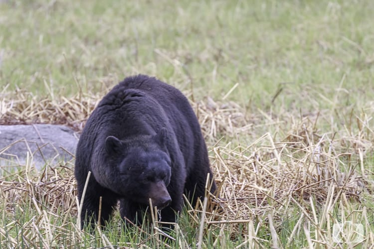 yellowstone national park black bear at water