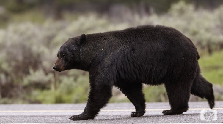 yellowstone national park black bear crossing road