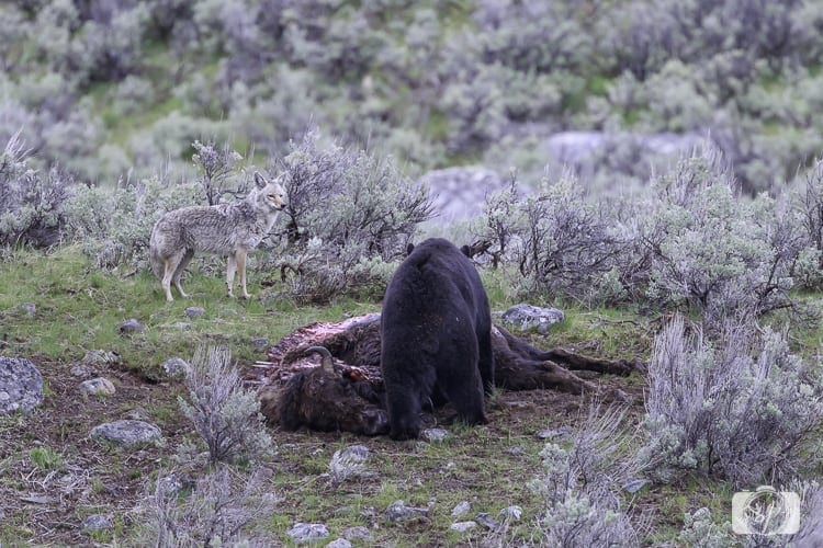 yellowstone national park black bear eating 2