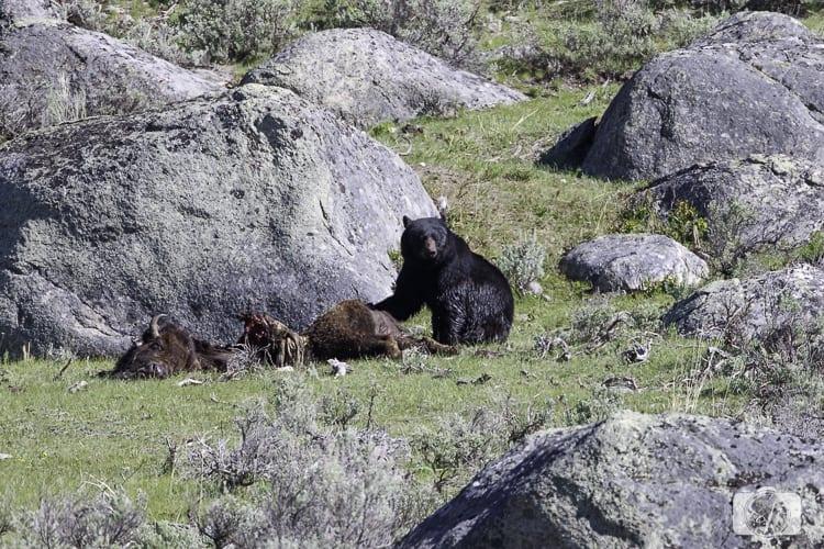 yellowstone national park black bear eating day 3