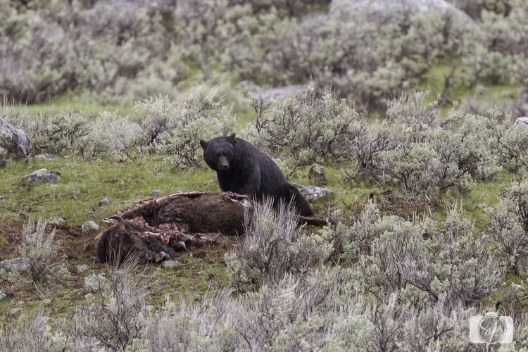 yellowstone national park black bear eating
