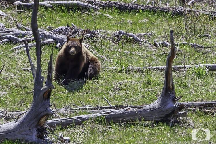 yellowstone national park black bear hill