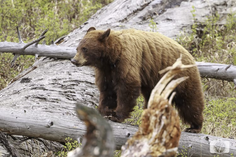 yellowstone national park black bear